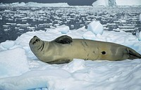 Crabeater Seal Lobodon carcinophagus On ice floe _ Close_up _ lying on side _ Antarctica