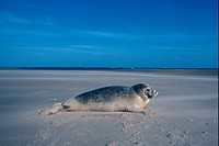 Common Seal Phoca vitulina Pup on beach