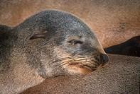 Cape Fur Seal Arctocephalus pusillus Head _ Namibia