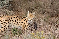 Serval Felis serval adult, hunting, with rodent in mouth, Shamwari Game Lodge, Eastern Cape, South Africa