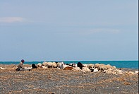 Domestic Sheep, with Domestic Goat, flock with shepherd, resting on lakeshore, Lake Alakol, Kazakhstan, june