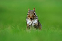 Eastern Grey Squirrel Sciurus carolinensis adult, feeding, sitting on grass, Oxfordshire, England