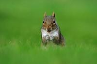 Eastern Grey Squirrel Sciurus carolinensis adult, feeding, sitting on grass, Oxfordshire, England