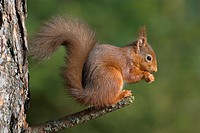 Eurasian Red Squirrel Sciurus vulgaris adult feeding, holding food, conifer woodland, Borders, Scotland