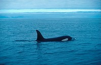Killer Whale Ornicus orca Swimming on surface of water S