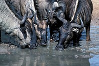 Black_tailed Wildebeest Connochaetes tourinus Adult & sub_adults drinking/Mkuzi Game