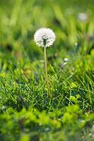 Dandelion growing in grass