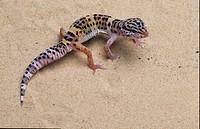 Leopard Gecko Eublepharus maculata On sand
