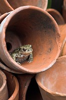Common Toad Bufo bufo adult sitting in terracotta flowerpot, Norfolk, England, august