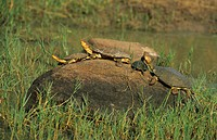 Helmeted Terrapin Pelomedusa subrufa Group on rock _ Mkuzi Game Reserve, South Africa
