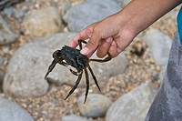 Shore Crab Carcinus maenas adult, held in hand, caught by rockpooling child, Osmington Mills, Dorset, England, summer