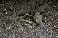 Mantis Shrimp Lysiosquilla maculata Retak Larry, Lembeh Straits, Sulawesi, Indonesia