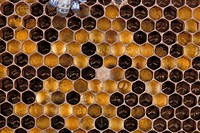 Honeycomb Bee Close_up _ showing hexagon shapes S