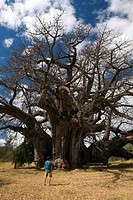 The Big Tree, Limpopo, South Africa