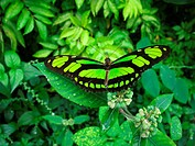 Philaethria dido, Regenwald Amazonas