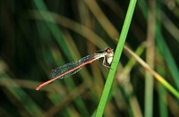 Small Red Damselfly Ceriagrion tenellum Adult male feeding