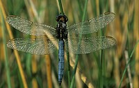Keeled Skimmer Orthetrum coerulescens Male roosting after heavy dew _ Powys, Wales