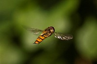 Hoverfly Syrphidae adult in flight, hovering