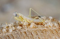 European Praying Mantis Mantis religiosa newborn young, emerging from cocoon, Italy