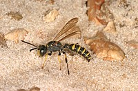 Solitary Wasp Cerceris arenaria Male on sand