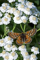 Marsh Fritillary Euphydryas aurinia adult, feeding on Filigree Yarrow Achillea fraasii, England