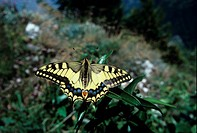 Butterfly _ Swallowtail Papilio machaonclose_up/ on migration/summit Mt Guisberg 4000ft