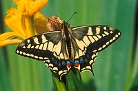 Swallowtail Papilio machaon Wings open _ on yellow flower _ June S