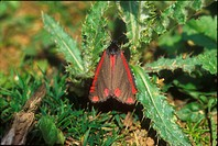 Cinnabar Moth Tyria jacobaeae On thistle _ Coates _ Sx S