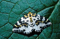 Magpie Moth Abraxas grossulariata Upperwing