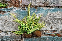 Maidenhair Spleenwort Asplenium trichomanes growing from crack in wall, Ireland, august