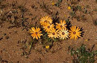 Namaqualand Daisy Dimorphotheca sinuata flowering, Namaqualand, South Africa