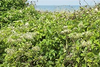 Old Man´s Beard Clematis vitalba growing on coastal dunes, with sea in background, Norfolk, England, august