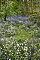 Greater Stitchwort Stellaria holostea and Bluebell, flowering in deciduous wood clearing, Stour Valley, Wrabness, Essex, England, may