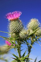Spear Thistle Cirsium vulgare flowers and blue sky, Britain