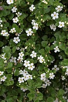 Snow Flake Sutera diffusa Flowering