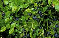 Bilberry Vaccinium myrtillus Ripe fruit _ Wales