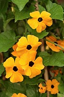 Black_eyed Susan Vine Thunbergia alata Flowering
