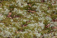 Lichen Cladonia portentosa with moss and fallen leaves, Borders, Scotland, spring