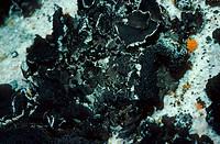 Rock_tripe Umbilicaria decussata Carey Island, Ellesmere, Canadian Arctic, Canada