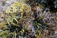 Carragheen Chondris crispus on rocks, edible, Lundy Bay, Cornwall, England