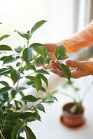 Senior woman touching houseplant, elevated view