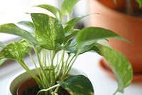 Houseplant, close_up