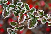 Wall Cotoneaster Cotoneaster horizontalis frost covered leaves, in garden, Powys, Wales