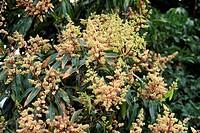 Mango Mangifera indica flowering, Madagascar