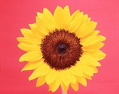Close_up of a sunflower