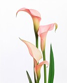 View of pink cannas