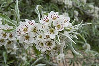 Willow_leaved Pear Pyrus salicifolia close_up of flowers, in garden, Hampshire, England, spring
