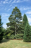 Macedonian Pine Pinus peuce habit, Wakehurst Place, Sussex, England