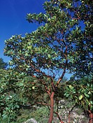 Eastern Strawberry Tree Arbutus unedo Top half of tree in leaf