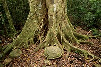 Watkins´ Strangler Fig Ficus watkinsiana roots, in rainforest, Lamington N P , Queensland, Australia